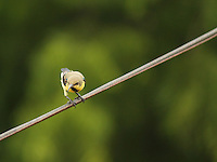 Image of a Sunbird sitting on a wire.