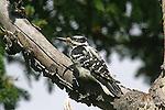 WOODPECKER; hairy woodpecker