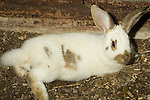 Speckled Giant Domestic rabbit