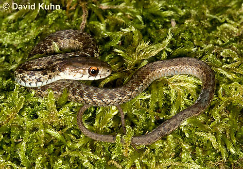 0102-0901  Young Garter Snake on Moss, Thamnophis sirtalis, Maine  © David Kuhn/Dwight Kuhn Photography