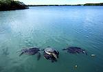 mating green sea turtle in Black Turtle Cove