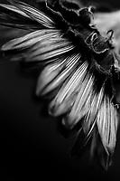 Sunflower, 35mm film