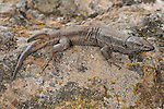 A two tailed Wall Lizard  (Gallotia caesaris), endemic, Canary Islands