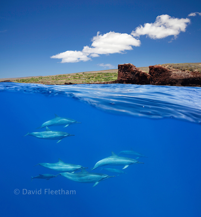 A split view of spinner dolphin, Stenella longirostris, below and Puu Pehe or Sweetheart Rock off the island of Lanai above, Hawaii.