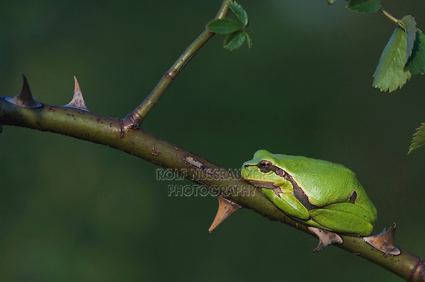 Common Tree Frog, Hyla arborea, adult resting in wild rose bush, National Park Lake Neusiedl, Burgenland, Austria, April 2007