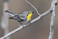 Grace's Warbler - Dendroica graciae- male