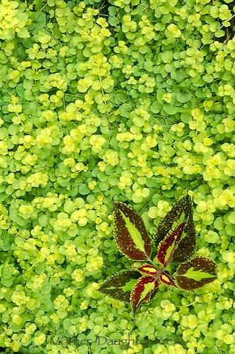 Creeping jenny (Lysimachia nummularia) groundcover grows around small coleus plant