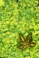 Creeping jenny (Lysimachia nummularia) groundcover grows around small coleus plant