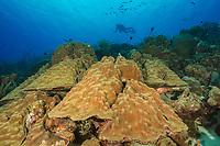 Mountainous star coral, Montastraea faveolata, Bonaire, Netherland Antilles, Netherlands, Caribbean Sea, Atlantic Ocean