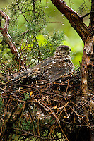 Female Cooper's Hawk protecting nestlings from hailstorm; Chiricahua Mountains, Arizona