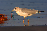 Ring-billed gull in winter plumage with jellyfish