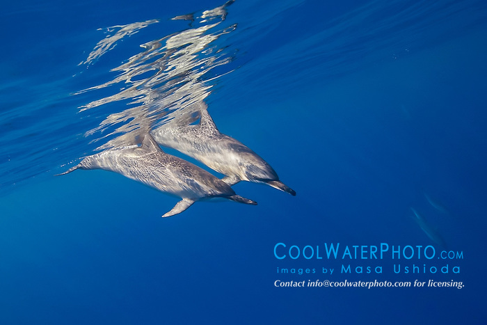 long-snouted spinner dolphins, Hawaiian spinner dolphins, or Gray's spinner dolphins, Stenella longirostris longirostris, Kona Coast, Big Island, Hawaii, USA, Pacific Ocean