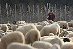 Sheep Transhumance  Shepherds with herd of sheep, dog and donkey during the transhumance from Val Di Fiemme to Veneto  in Pergine Valsugana, Italy, November 24, 2017.
