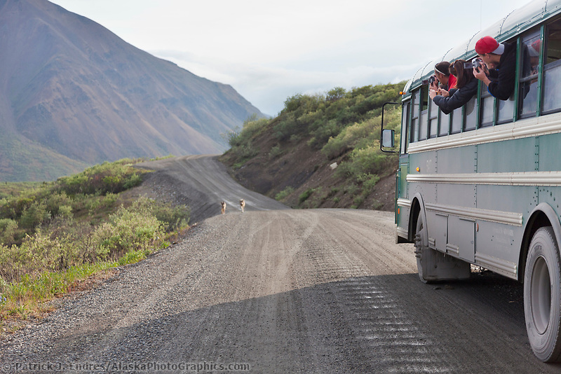 Visitors to Denali Park take pictures of wild wolves walking down the park road.