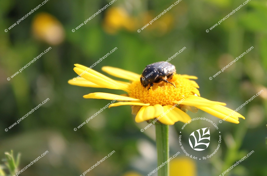 Stock photo of black bug sitting on a yellow daisy flower.