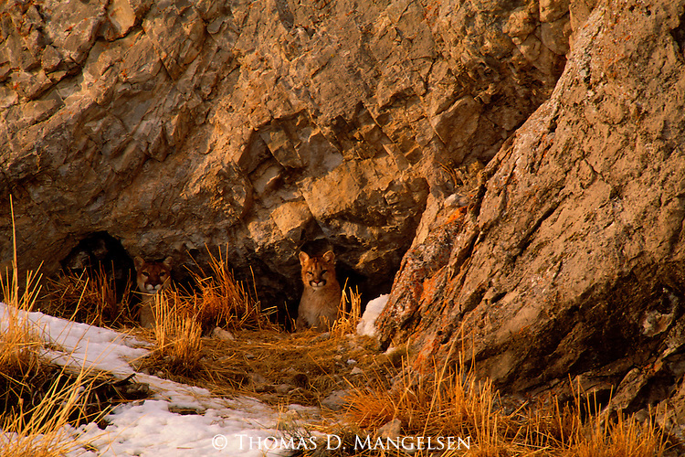 A mountain lion and her cub sit in their den surveying the sage flats below on the National Elk Refuge in Jackson Hole, Wyoming.....................................................................................................................................................................................................................................................................................................................................................................................................................................................................................................................................................................................................................................................................................................................................