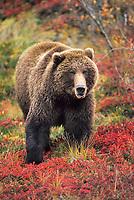 Female grizzly bear in autumn blueberry patch, Denali National Park, Alaska