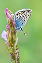 Silver-Studded Blue {Plebejus argus}, Gran Paradiso National Park, Aosta Valley, Pennine Alps, Italy. July.
