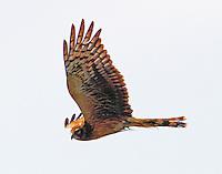 Female northern harrier