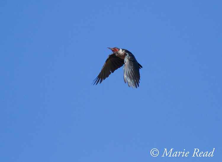 Lewis's Woodpecker (Melanerpes lewis), in flight, Mono Lake Basin, California.