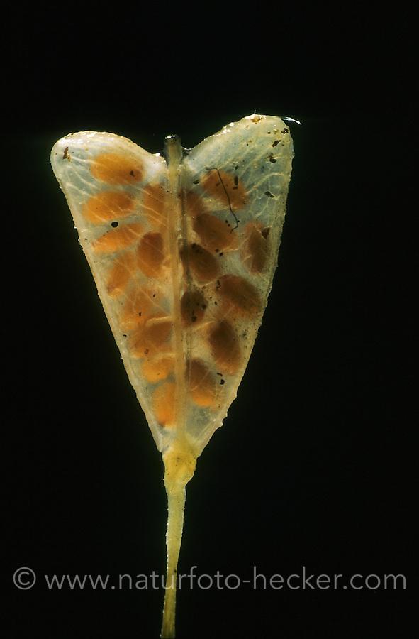 Hirtentäschelkraut, Hirtentäschel-Kraut, Hirtentäschel, herzförmige Frucht, Capsella bursa-pastoris, Shepherd´s Purse