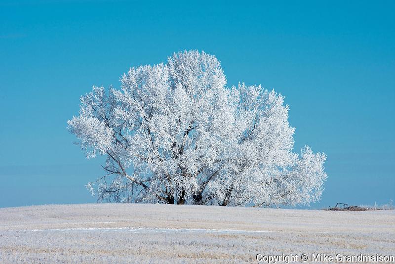 Hoarfrost on trees , Near Moose Jaw, Saskatchewan, Canada