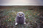 Snowy owlet, Arctic National Wildlife Refuge, Alaska, USA