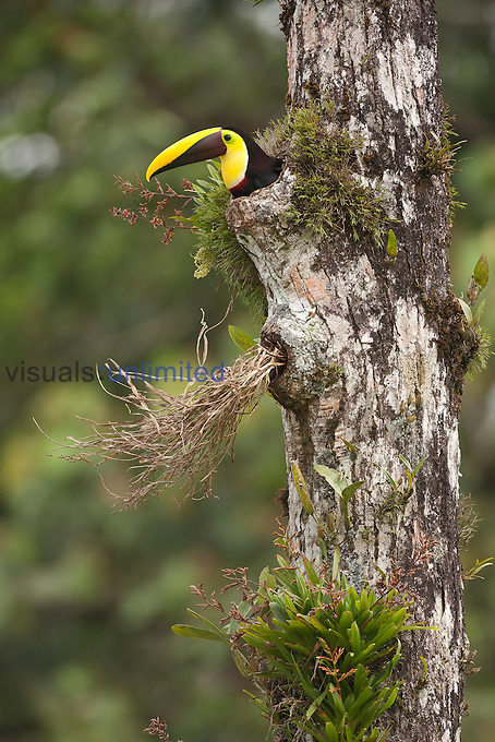Chestnut-mandibled Toucan (Ramphastos swainsonii) at entrance to nest in hole in rainforest tree, Costa Rica