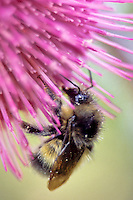 Golden Northern Bumble Bee, Mount Rainier National Park, Washington