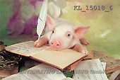 Interlitho, Alberto, ANIMALS, pigs, photos, pig reading(KL15018/6,#A#) Schweine, cerdos