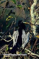 00680-00320 Anhinga (Anhinga anhinga) drying wings Everglades NP   FL
