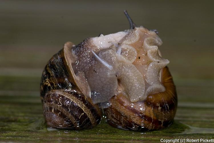 Garden Snail, Helix aspersa, pair mating, showing dart, exchanging sperm