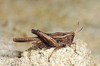 Säbel-Dornschrecke, Säbeldornschrecke, Dornschrecke, Tetrix subulata, Tetrix subulatum, Acrydium subulatum, Slender Ground-hopper, Slender Groundhopper, Slender Grouse Locust, Dornschrecken, Tetrigidae, grouse locusts, pygmy locusts, groundhoppers, pygmy grasshoppers