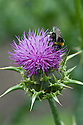 Bee on blessed Mary's thistle (Silybum marianum 'Milk Thistle'), mid June.
