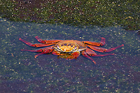 Sally lightfoot crab (Grapsus grapsus) feeding in sea water, Galapagos Islands, Pacific Ocean