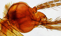 INSECTS<br /> Compound Eyes Of Anopheles Mosquito, LM 100x mag.<br /> Light microscope image of the head of the Anopheles showing the compound eye, antennae, and mouthparts