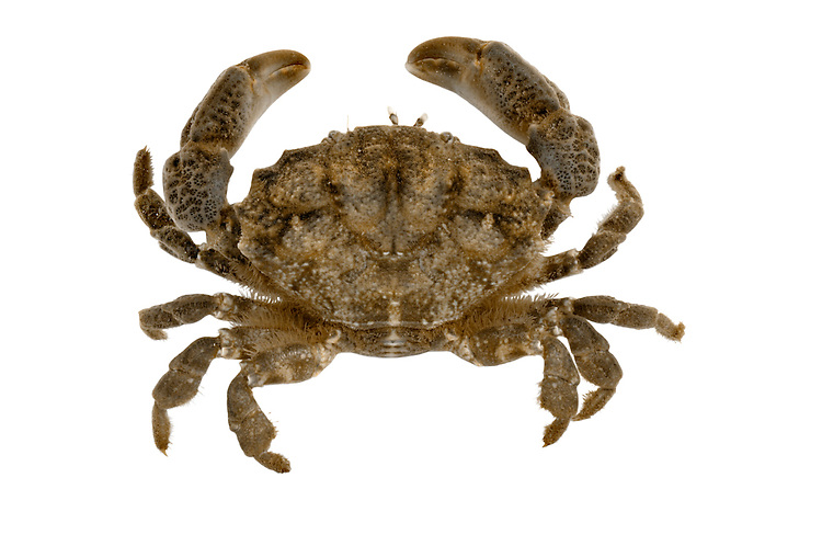 Furrowed Crab - Xantho incisus