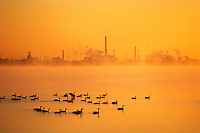 Canada, Ontario, Niagara Falls. Canada geese on the Niagara River at sunrise with a refinery plant in the background