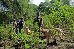Colombian soldiers and an anti-explosive dogs stand guard while they clean the area of explosive devices placed by guerrilla groups and criminal gangs. during a coca plants eradication program at the Antioquia mountains In Colombia so far this year have been eradicated 900 hectares in the country, mainly in rural areas, there are about 2,500 men engaged in this work. According to the Presidential Program for Comprehensive Action against Antipersonnel Mines, between 1990 and January 31, 2012, have been affected by landmines l9.642 people, of these, 674 were injured in eradication. Medellín, July 3 of 2012. Photo by Fredy Amariles/ VIEWpress.