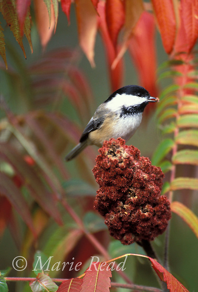 Black-capped Chickadee (Poecile atricapilla) feeding on fruit of staghorn sumac in autumn, New York USA<br /> Slide # B123-201