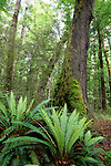 Crown ferns in beech forest, Kepler Track, Fiordland, New Zealand