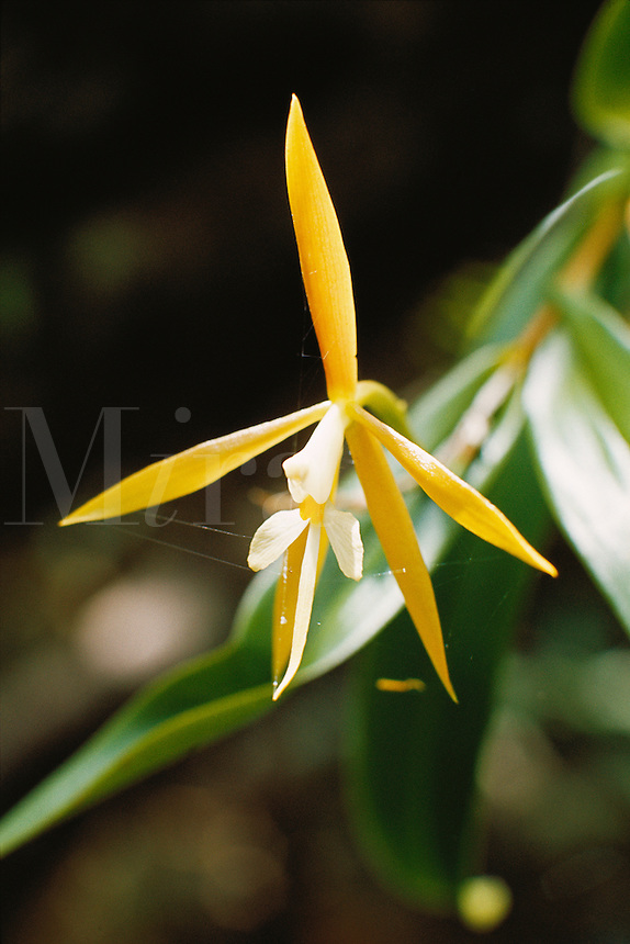 Epidendrum nocturnum, epiphytic orchid in forest gallery in southern Venezuela..