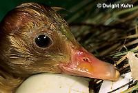 DG20-108z  Pekin Duck - duckling hatching from egg and still wet