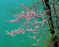 Redbud tree in flower along Standing Stone Lake; Standing Stone State Park, TN