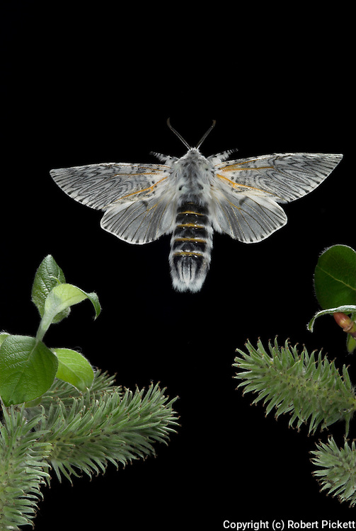 Puss Moth, Cerura vinula, female in flight, flying, high speed photographic technique, white patterend wings, fluffy, mid flight, back, open, night.United Kingdom....