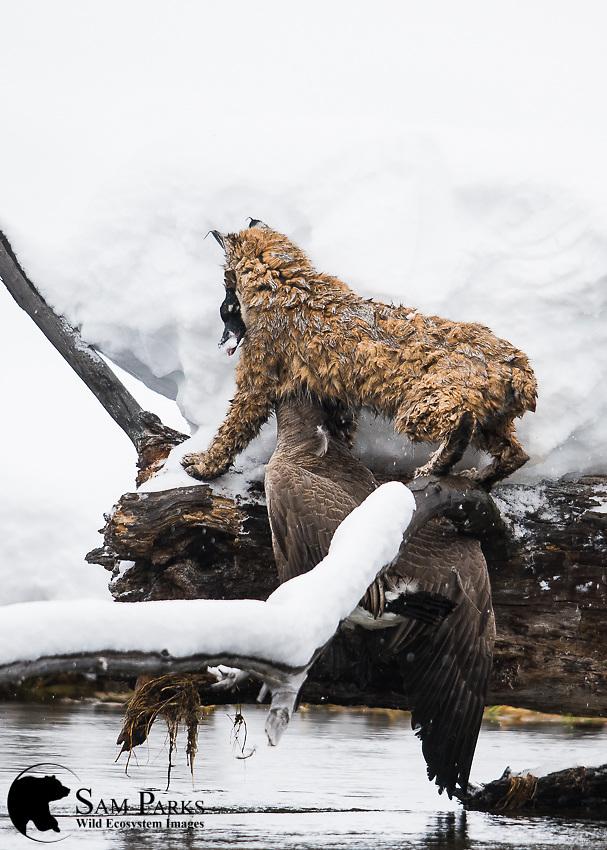 Wild bobcat with freshly caught Canada goose. Yellowstone National Park, Wyoming.