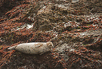 Harbor seal, Phoca vitulina, basking on rocks near Mendocino, California