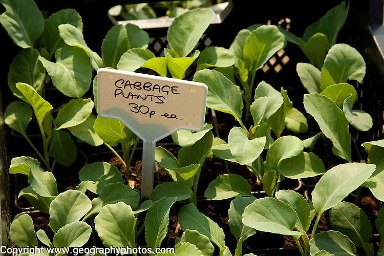 Cabbage plants for sale close up
