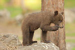 SEQUENCE 12 OF 12:  I can't bear it!<br /> <br /> This cub appears to be having a bad day as it covers its face with its paw.  The three-month-old brown bear hides his face and growls moodily.<br /> <br /> The stroppy looking cub was photographed in the Finnish spruce and pine covered taiga, or boreal forest, in Martinselkonen.  SEE OUR COPY FOR DETAILS.<br /> <br /> Please byline: Valtteri Mulkahainen/Solent News<br /> <br /> © Valtteri Mulkahainen/Solent News & Photo Agency<br /> UK +44 (0) 2380 458800