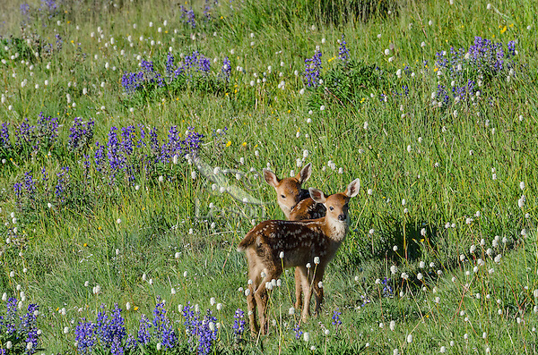 Columbian black-tailed deer (Odocoileus hemionus columbianus) fawns in subalpine meadow covered with wildflowers. Pacific Northwest.  Summer.